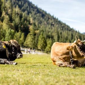 Cowwatching