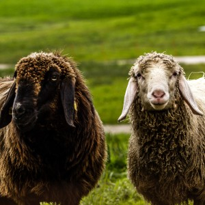 Sheepwatching